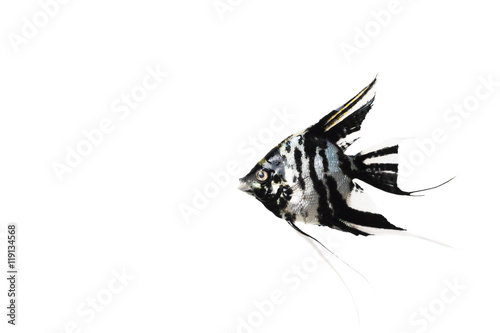 Angelfish on white isolated background Canvas Print