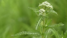 Achillea Millefolium, Commonly Known As Yarrow Or Common Yarrow, Is A Flowering Plant In The Family Asteraceae.