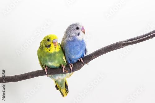 Fotografia Little Cute Budgerigar, Budgie, Bird