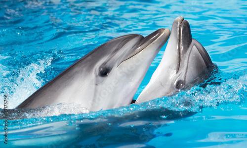 Plakat dwa delfiny tańczące w basenie