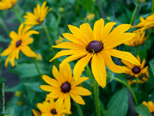 Valokuva  Yellow summer flowers - rudbeckia against a background of nature