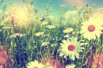 Obraz Wildflowers daisies. Summer landscape.