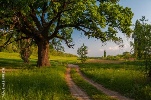 Plakat Letni krajobraz, gigantyczny dąb i wiejskiej drodze słoneczny dzień