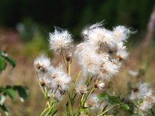 Fluffy Thistle Seed Heads Closeup, Shallow Depth Of Field