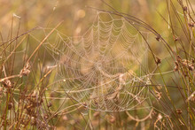 Spider Web With Dew In The Grass