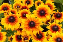 Rudbeckia Flowers, Variety Is Summerina Yellow.