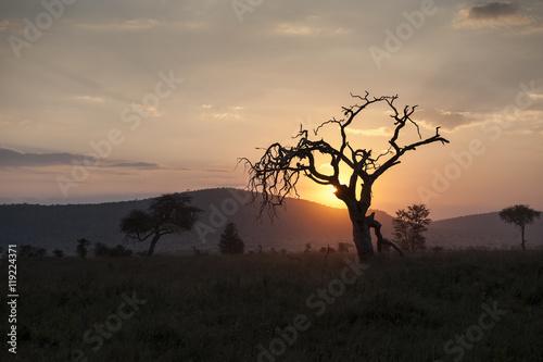 Recess Fitting Brick Acacia Tree at Sunset, Tarangire, Tanzania