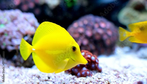 Papel de parede  Zebrazoma Yellow tang in coral reef aquarium