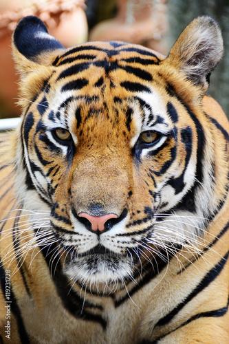 Tiger face.