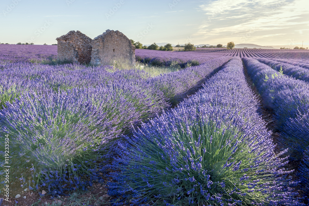 Blooming fields of lavender in the Provence in France.