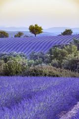 Panel Szklany Lawenda Lavender field Summer sunset landscape