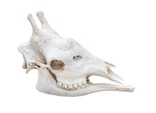 Giraffe Head Skull Isolated On White Background With Path