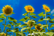 Beautiful Sunflowers On The Bl...