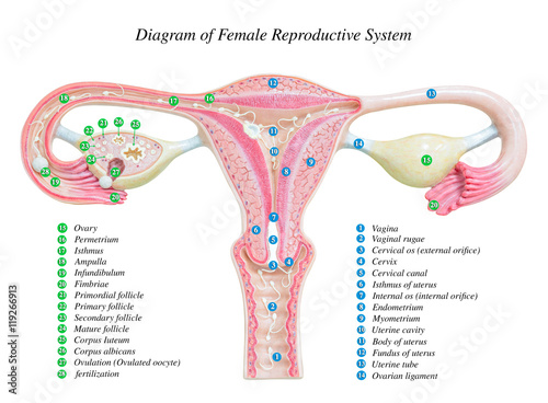 Female reproductive system image diagram buy this stock female reproductive system image diagram ccuart Gallery