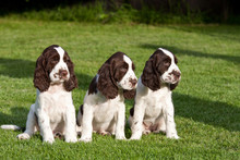 Portrait Of Nice Puppies - Eng...