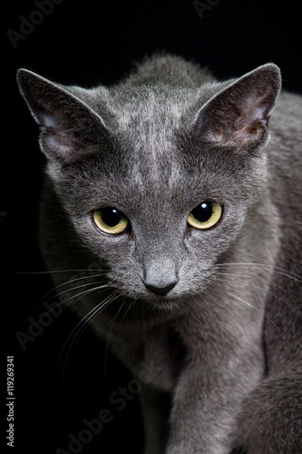 Portrait of nice cat - cat russian blue