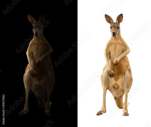 Fotobehang Kangoeroe kangaroo on black and white background