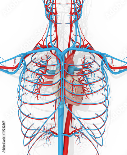 Human anatomy vascular system medical illustration on white ...