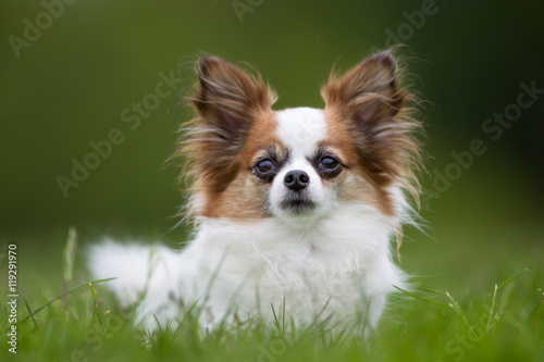 Photo  Papillon dog outdoors in nature