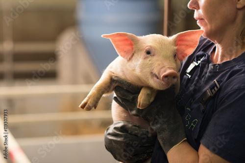 Fotografie, Obraz  pig at factory