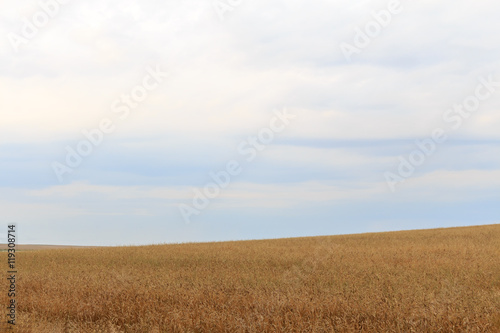 Photo Stands Night blue field hilly landscape of wheat overcast sky summer