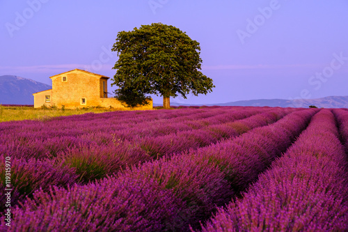 Tuinposter Crimson Lavender field at sunset in Provence, France