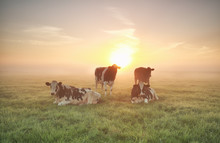 Few Cows Relaxed On Pasture
