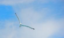 Shy Albatross Flying With Blue Sky.
