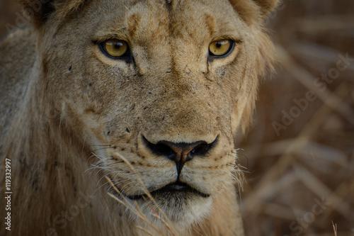 Lion, lioness,  (Panthera leo) Portrait Poster