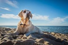 Old Yellow Dog Labrador Retrie...