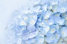Floral Background Soft Purple Hydrangea Flowers (soft Color Style)