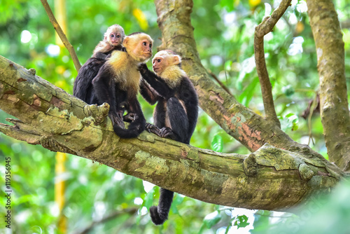 Capuchin Monkey on branch of tree - animals in wilderness Canvas Print