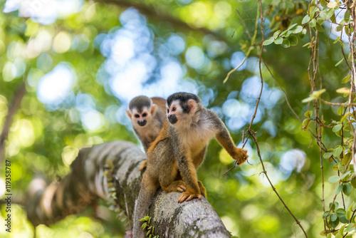 Photo  Squirrel Monkey on branch of tree - animals in wilderness