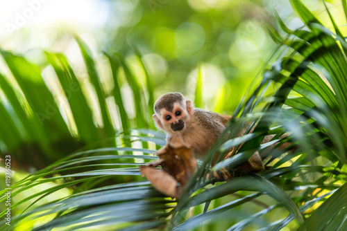 Fotografía  Squirrel Monkey on branch of tree - animals in wilderness