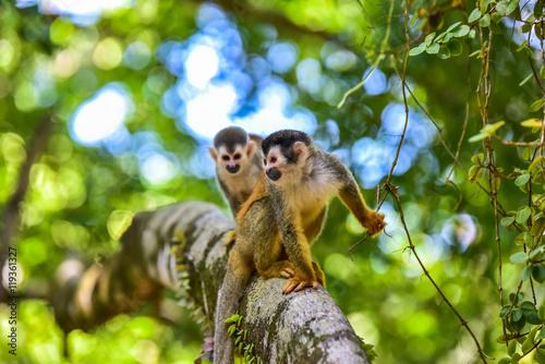 Singe Squirrel Monkey on branch of tree - animals in wilderness