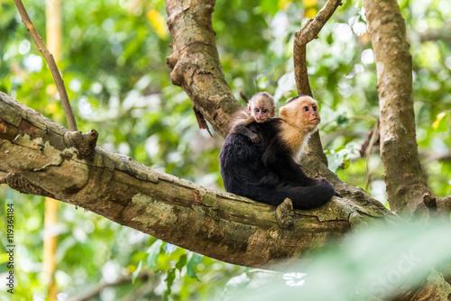 Photo  Capuchin Monkey on branch of tree - animals in wilderness