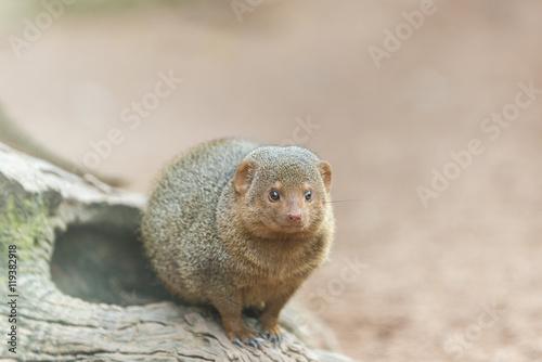 Photo  Herpeste (mongoose family)