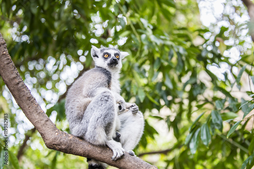 Photo  The ring-tailed lemur (catta). Madagascar.