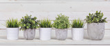 Fototapeta Kwiaty - Pot plants in white pots and concrete on a background of white b