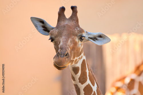 Fototapety, obrazy: Giraffa camelopardalis (giraffe)