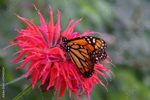 Fotografie, Obraz  Monarch butterfly  resting on pink flowe