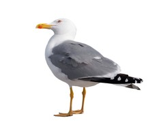 Birds, Animals, Isolated, White, Beak, Seagull, Pets, Feather, No, On, View, Foot, Shot, Out, Studio, People, One, Gray, Standing, Cut, Looking, Vertebrate, Wildlife, Profile, Argentatus, Clipping