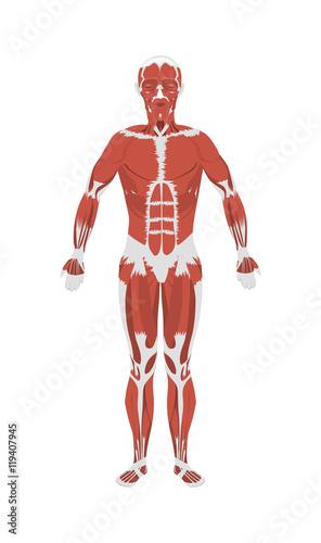 Fotografie, Tablou  Human muscles anatomy