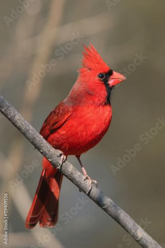 Photo  Northern Cardinal