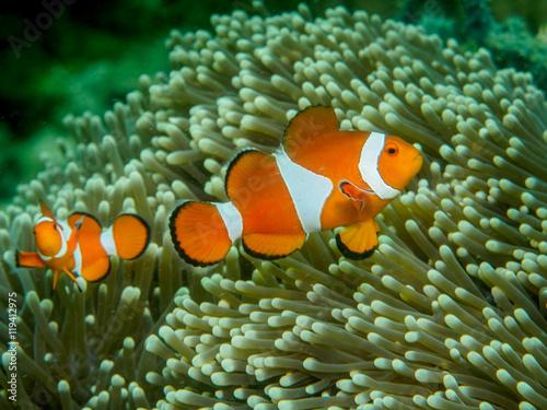 Foto anemone fish at underwater, philippines