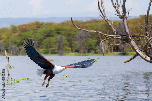 Eagle flying over lake, Kenya