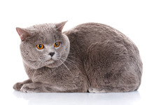 Gray British Shorthair Cat With Brown Eyes