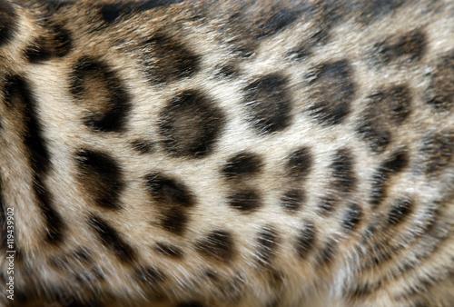 Photo  Fur Bengal cat
