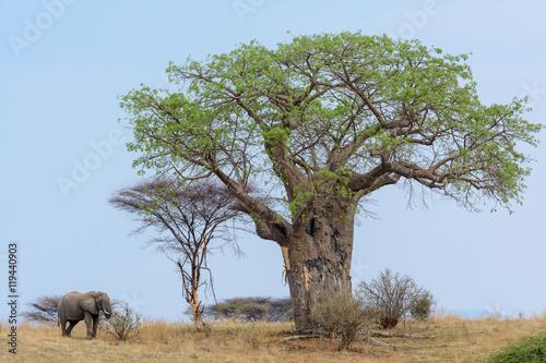 Keuken foto achterwand Baobab African bush elephant (Loxodonta africana) and Baobab, (Adansonia digitata). Ruaha National Park. Tanzania