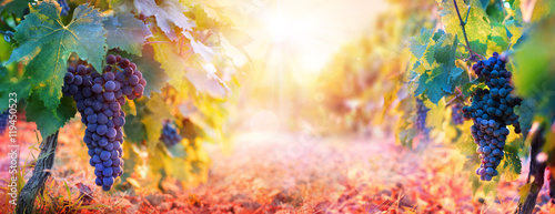 Foto auf Gartenposter Weinberg Vineyard In Fall Harvest With Ripe Grapes At Sunset